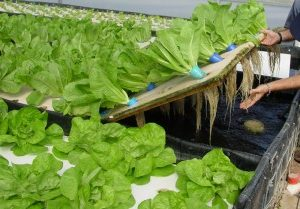 Raft aquaponics Senegal